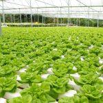 แนะนำอาชีพใหม่ ปลูกผักสลัดแบบไฮโดรโปนิกส์ขาย ทำรายได้ดีในยุคนี้